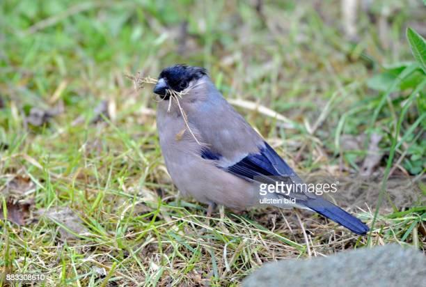 Gimpelweibchen oder Dompfaff Pyrrhula pyrrhula sammelt am Waldboden Nistmaterial fuer den Nestbau
