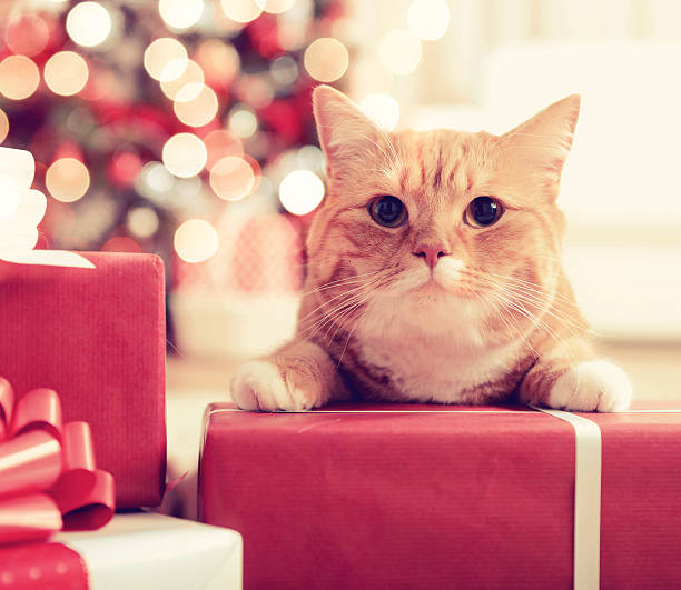Ginger British Shorthair Cat In The Christmas Interior Wall Art