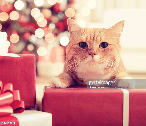 ginger British Shorthair cat in the Christmas interior