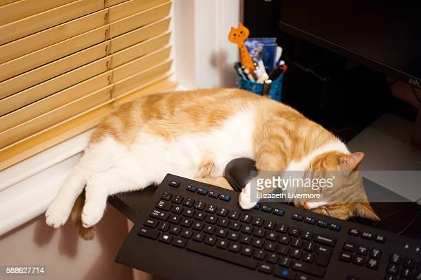 a ginger cat asleep across a keyboard - siesta key fotografías e imágenes de stock