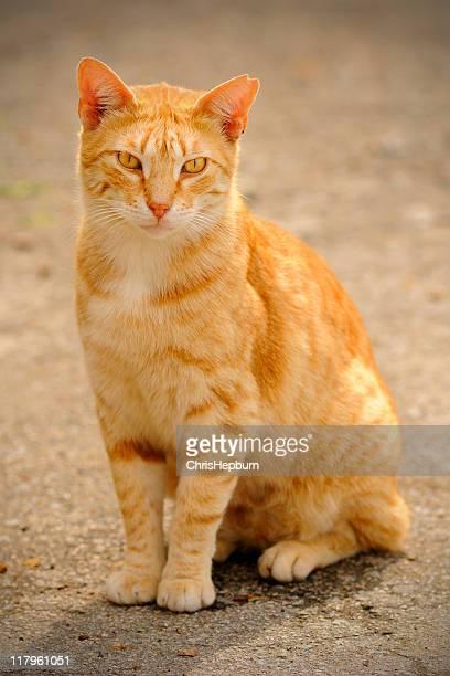 chat roux, barcelone - chat roux photos et images de collection