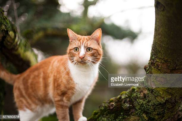 A ginger cat climbing a tree