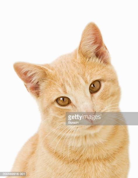 Ginger cat, close-up