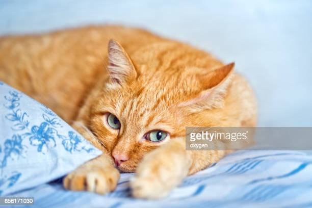 ginger Cat comfortably lies in a blue fabric linen
