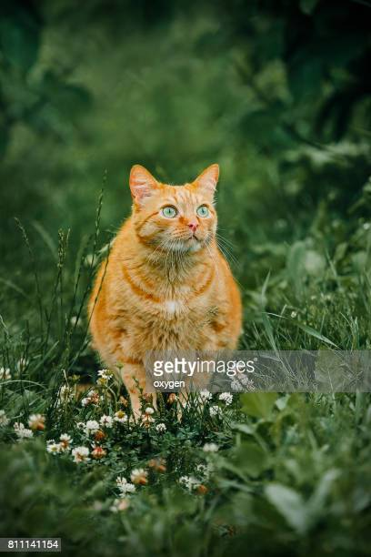 ginger cat in grass outdoor shot at sunny day - fat cat stock photos and pictures