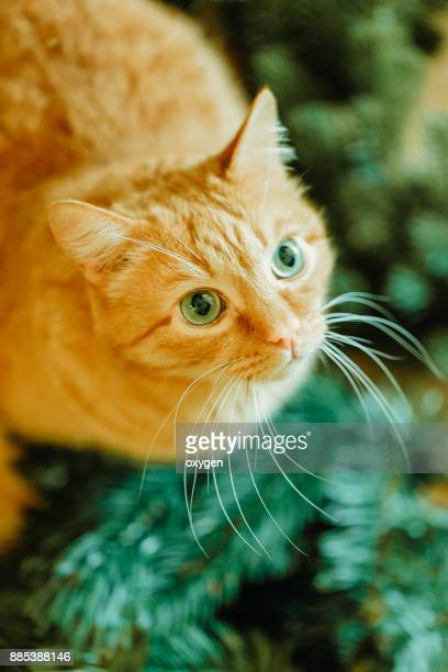Ginger Cat in green christmass tree brunches . Christmas for Pets