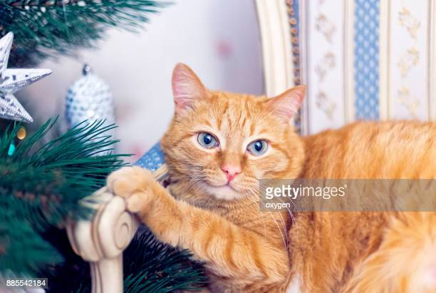 ginger cat is relaxing near christmas tree - male stripper stock pictures, royalty-free photos & images