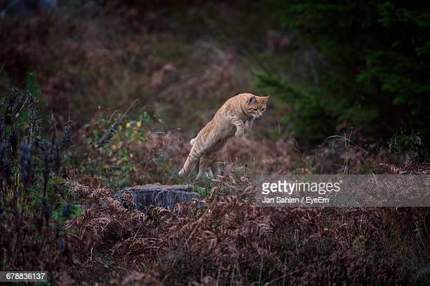 Ginger Cat Jumping Over Wilted Plants In The Forest