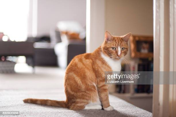 Ginger cat looking at camera