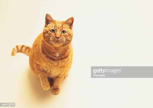 Ginger cat looking upwards