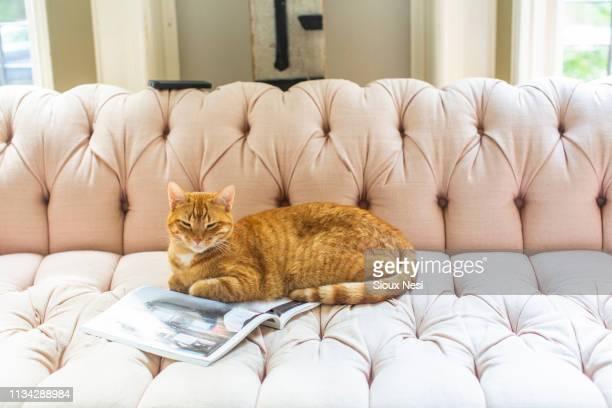 ginger cat lying on stylish sofa - bank zitmeubels stockfoto's en -beelden