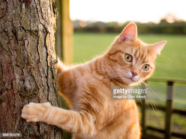 ginger cat on tree trunk - einzelnes tier stock-fotos und bilder