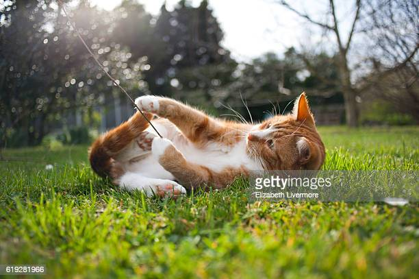 ginger cat playing in the grass - chat roux photos et images de collection