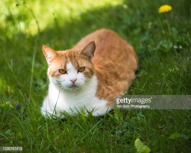 ginger cat sat on the lawn - cats stock pictures, royalty-free photos & images
