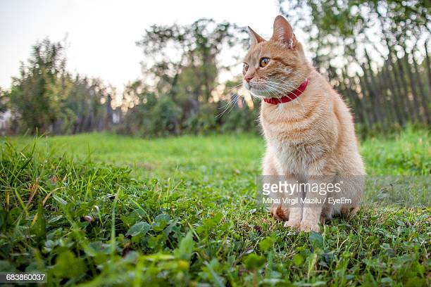 Ginger Cat Sitting On Grass