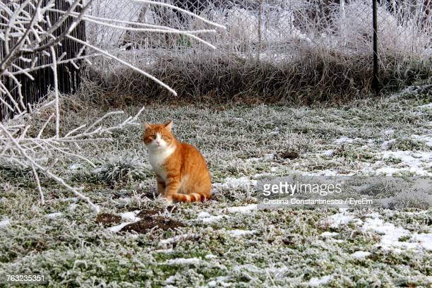 Ginger Cat Sitting On Snow Field