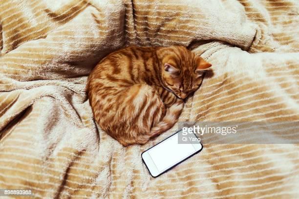 ginger cat sleeping - ginger lee fotografías e imágenes de stock