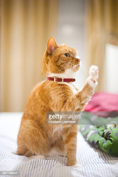 Ginger cat waving for attention