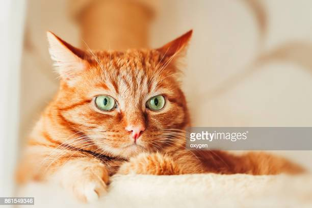 ginger cat with green eyes relaxing in a hammock at home - fat cat stock photos and pictures