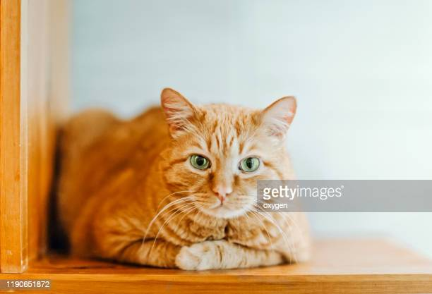 ginger cats is sitting on a shelf - トラ猫 ストックフォトと画像