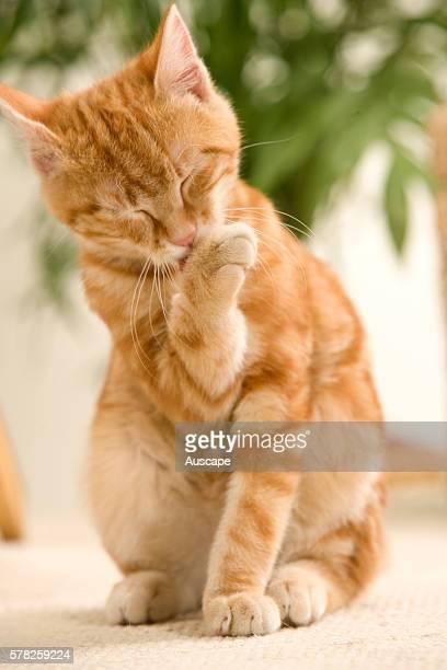 Ginger domestic cat Felis catus kitten licking front paw