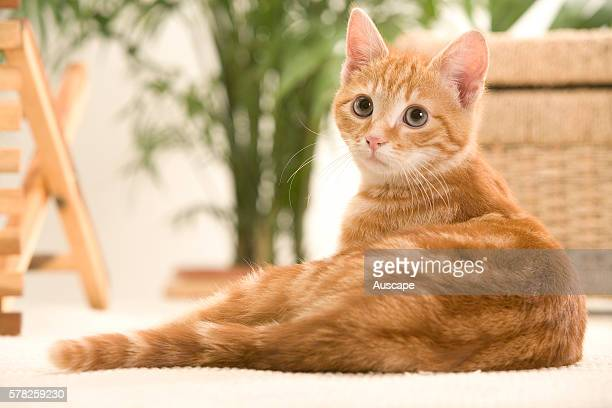 Ginger domestic cat Felis catus kitten relaxing indoors