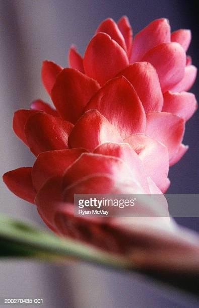 Ginger Flower, close-up