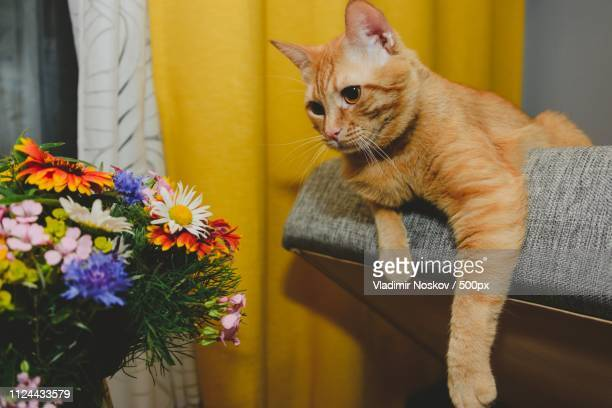 ginger hunts at a flowers - impatience flowers stock pictures, royalty-free photos & images