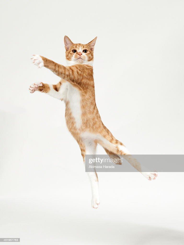 Ginger kitten jumping like dancer : Stock Photo