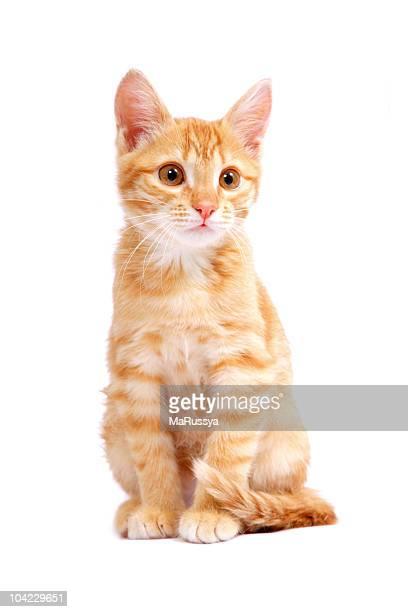 ginger chaton - chat roux photos et images de collection