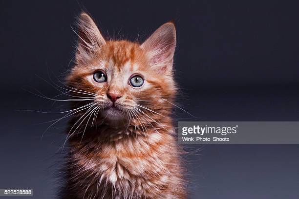 Ginger Kitten Looking at Camera