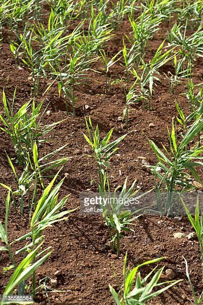 ginger plants (zingiber officinale) - ginger lee fotografías e imágenes de stock