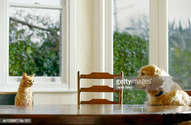ginger tabby cat and golden retriever sitting at dining table - dog and cat stock photos and pictures