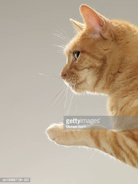 Ginger tabby cat raising paw, close-up, side view