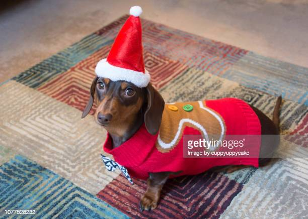 gingerbread man sweater - dachshund christmas stock pictures, royalty-free photos & images