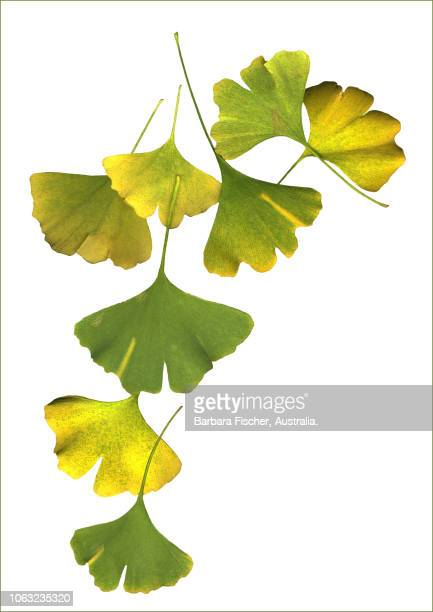 gingko leaves - ginkgo tree stock pictures, royalty-free photos & images