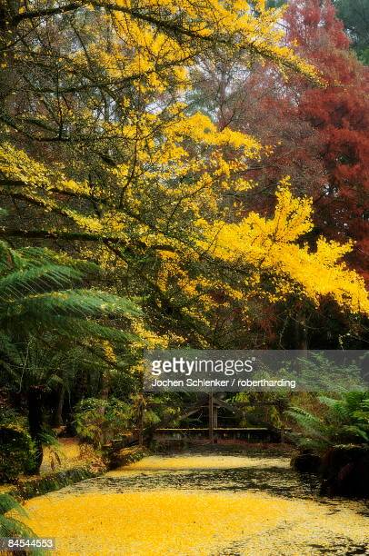 gingko tree dropping autumn leaves, alfred nicholas gardens, dandenong ranges, victoria, australia, pacific - dandenong stock photos and pictures
