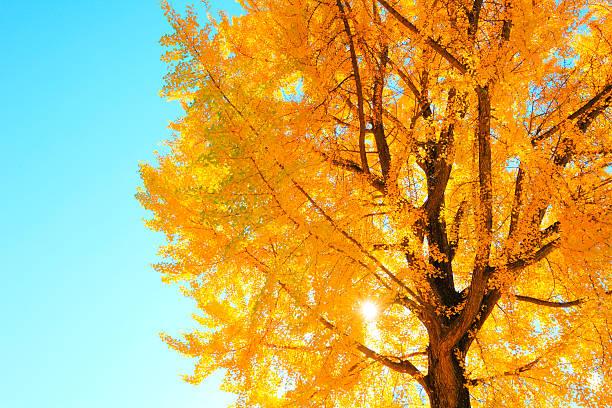 Gingko Tree, Nagano Prefecture, Japan