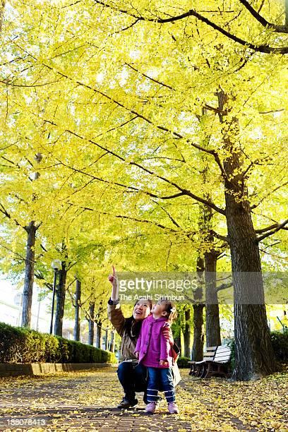 Gingko trees are in autumn yellow on November 13, 2013 in Utsunomiya, Tochigi, Japan.