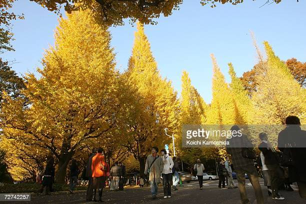 Gingko trees stand in the autumn sun on December 6 2006 in Tokyo Japan