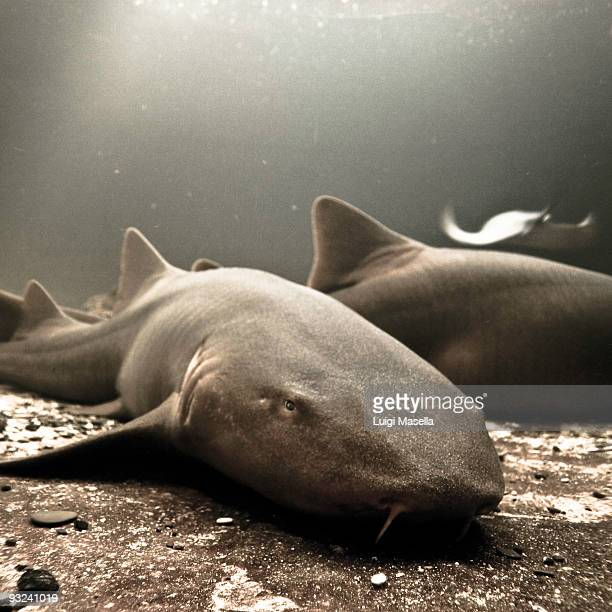 ginglymostoma cirratum - nurse shark stock photos and pictures