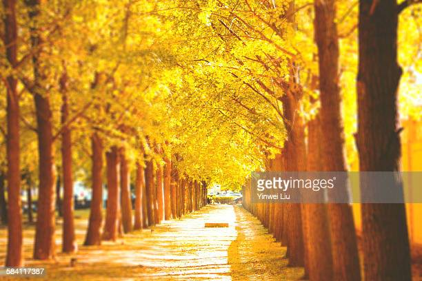 ginkgo avenue - ginkgo tree stock pictures, royalty-free photos & images