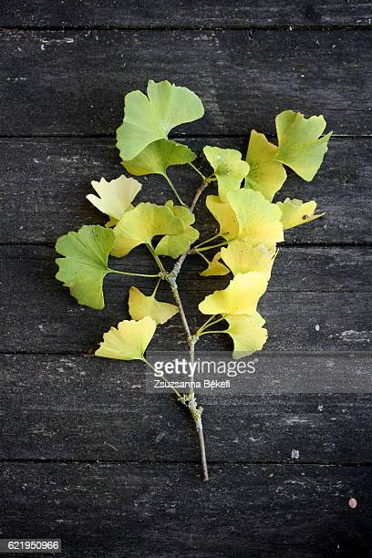 ginkgo biloba branch with yellow and green leaves laying on an old garden table
