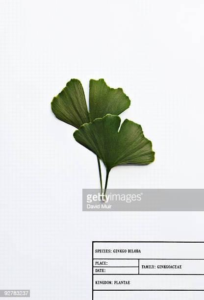 ginkgo biloba leafs