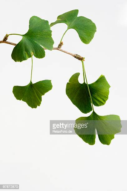 Ginkgo biloba leaves isolated on white background (XXL)