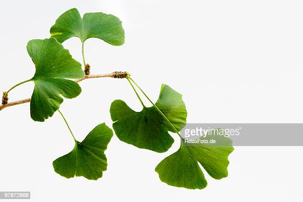 ginkgo biloba leaves isolated on white (xxl) - ginkgo tree stock pictures, royalty-free photos & images
