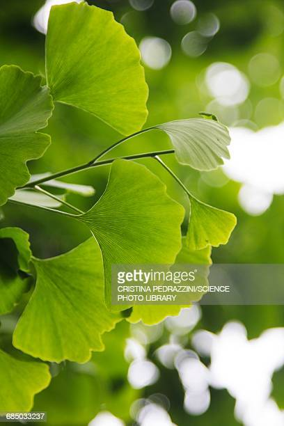 ginkgo biloba leaves - ginkgo tree stock pictures, royalty-free photos & images