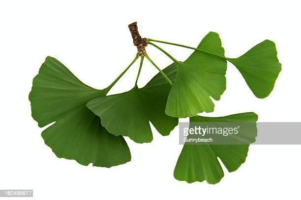ginkgo biloba - blatt pflanzenbestandteile stock-fotos und bilder