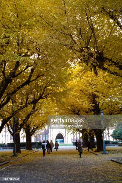 ginkgo colonnade at tokyo university - university of tokyo stock pictures, royalty-free photos & images