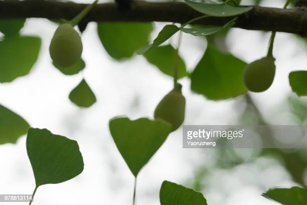 ginkgo fruit on the tree